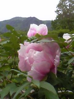 ファーム霊山 [牡丹]
